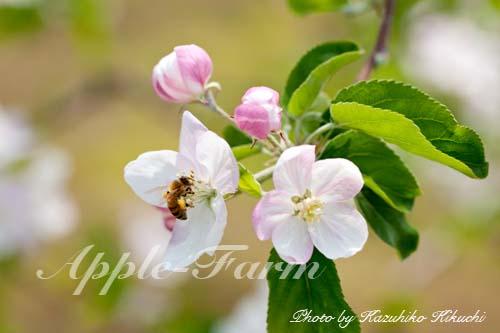 西洋ミツバチによる受粉
