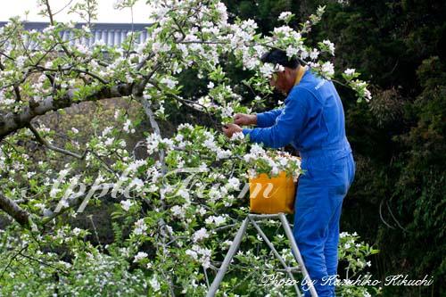 花粉取りのための花摘み