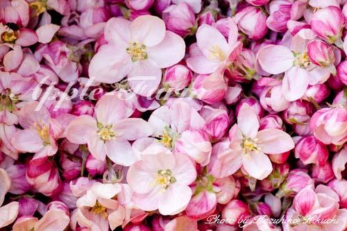 花粉取り用の花