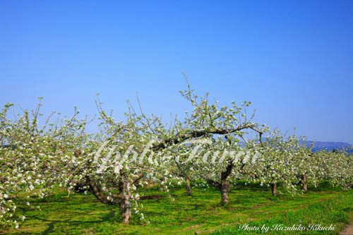 サンふじの花咲くりんご畑