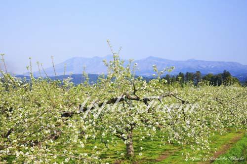 りんごの花咲く畑と名峰高原山