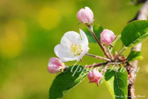 サンふじの花