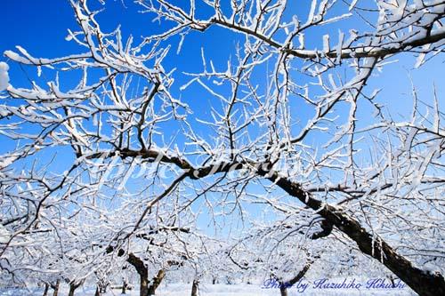 りんご畑の雪景色